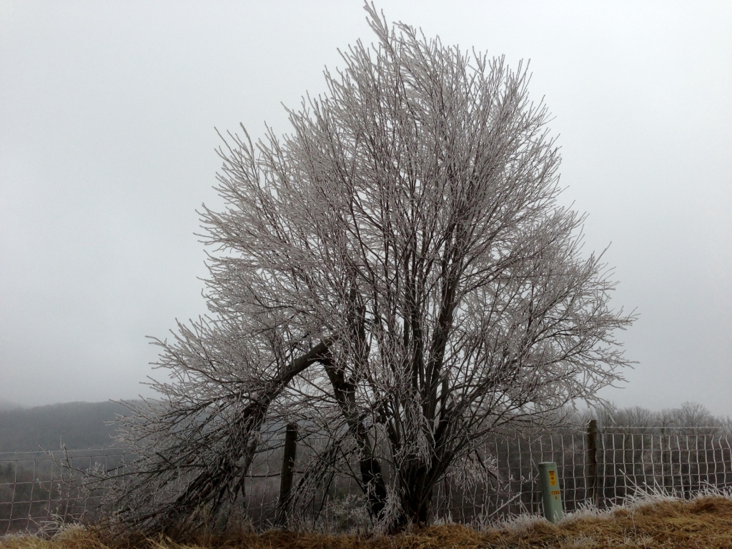 Frozen Fog Tree