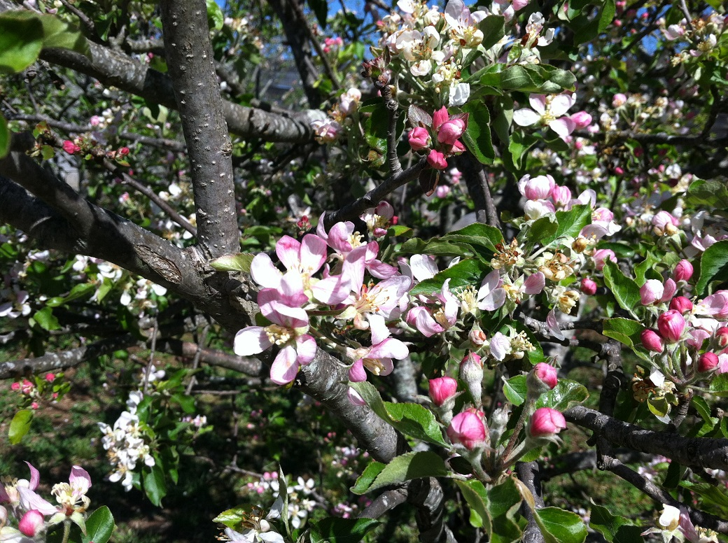 apple blossoms 4 26