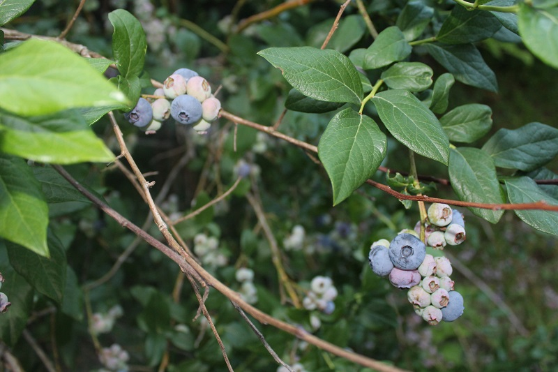new blueberry season