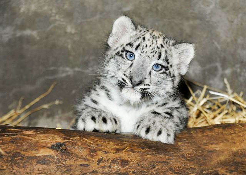 White-Tiger-Cub-from-a-Friend