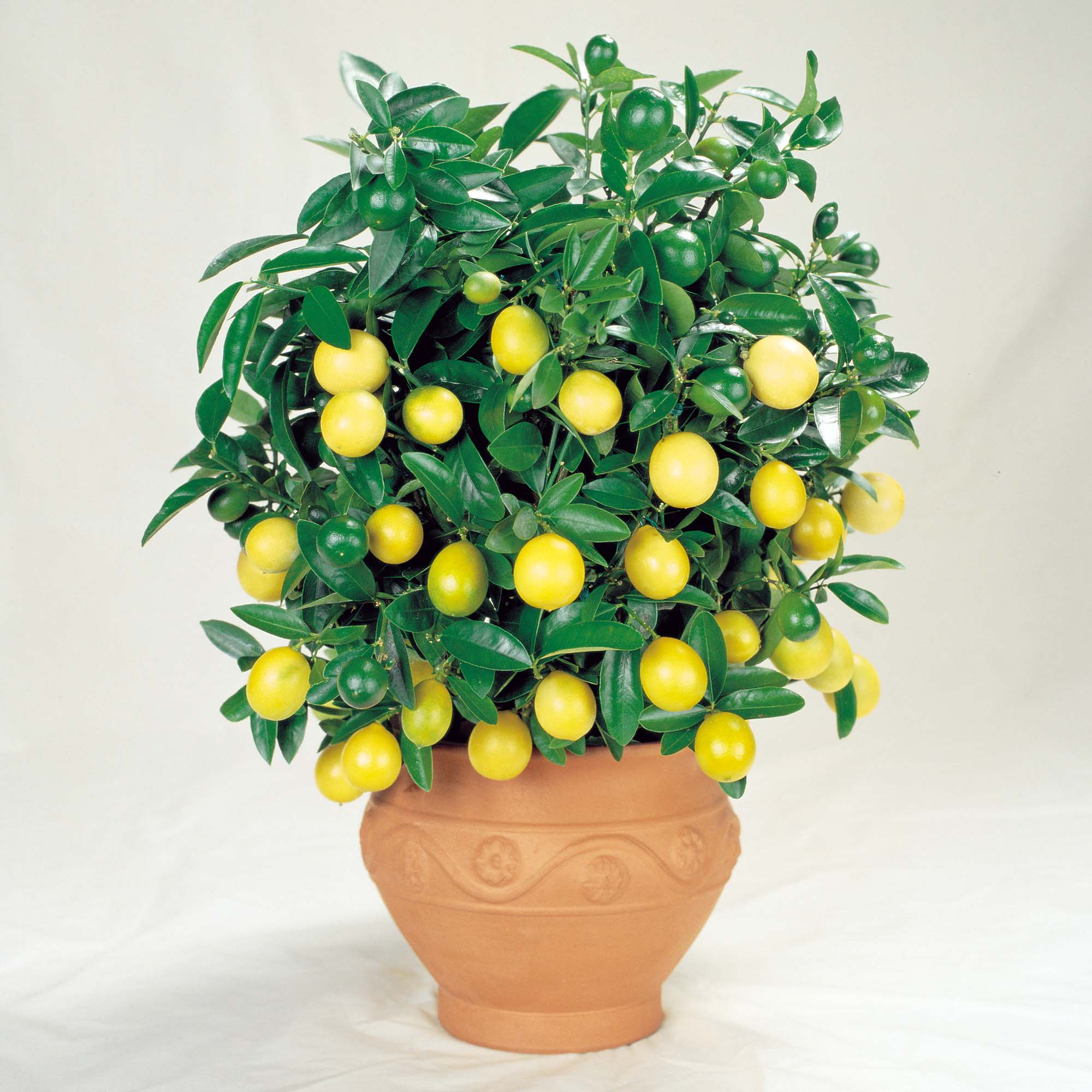 Topic lemon trees putting the pucker in prepping two for What does a lemon tree seedling look like
