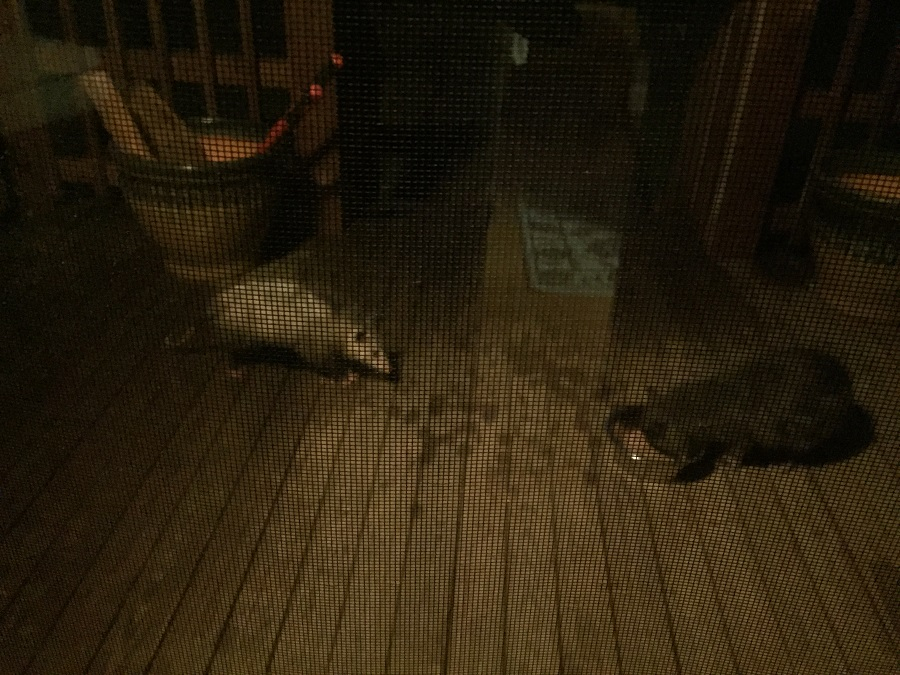 Gray possum challenges gray kitty.
