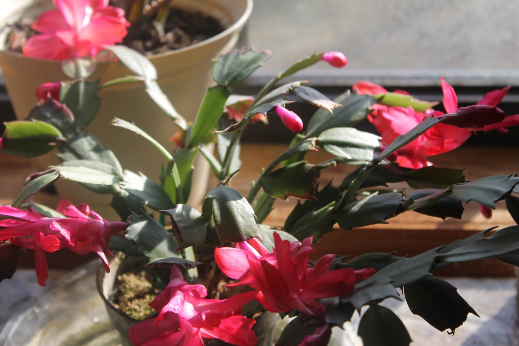 Our Christmas cactus is in full bloom for the season.
