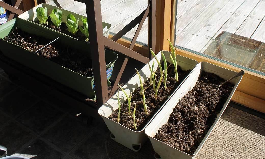 Lettuce and onion starters are 'cropping' up anywhere I can find sunshine in the sunroom. Waiting... waiting...