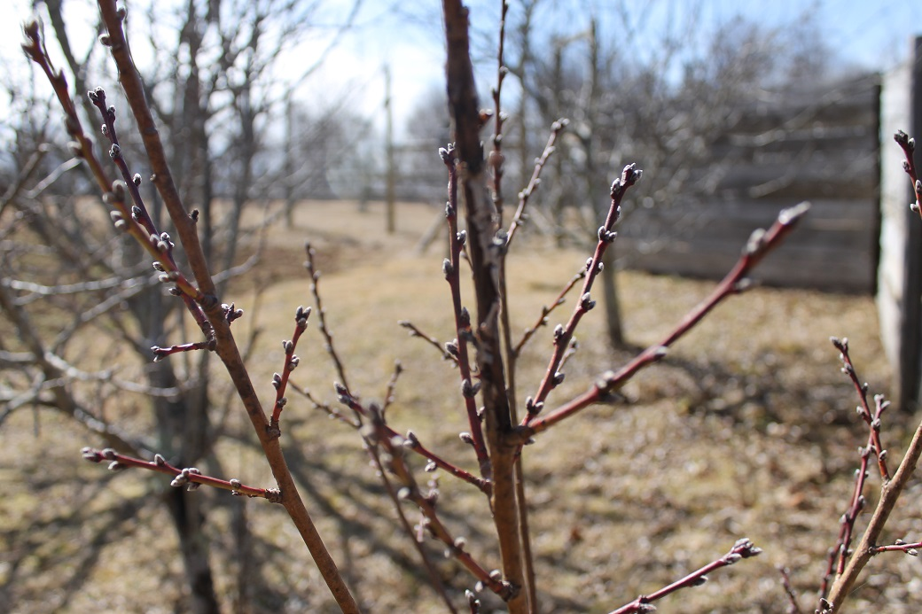 The peach trees are ready to explode with new growth.
