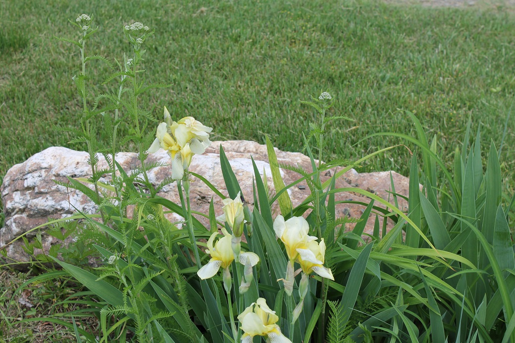I weeded around the buds of the yarrow that were growing in between the irises.