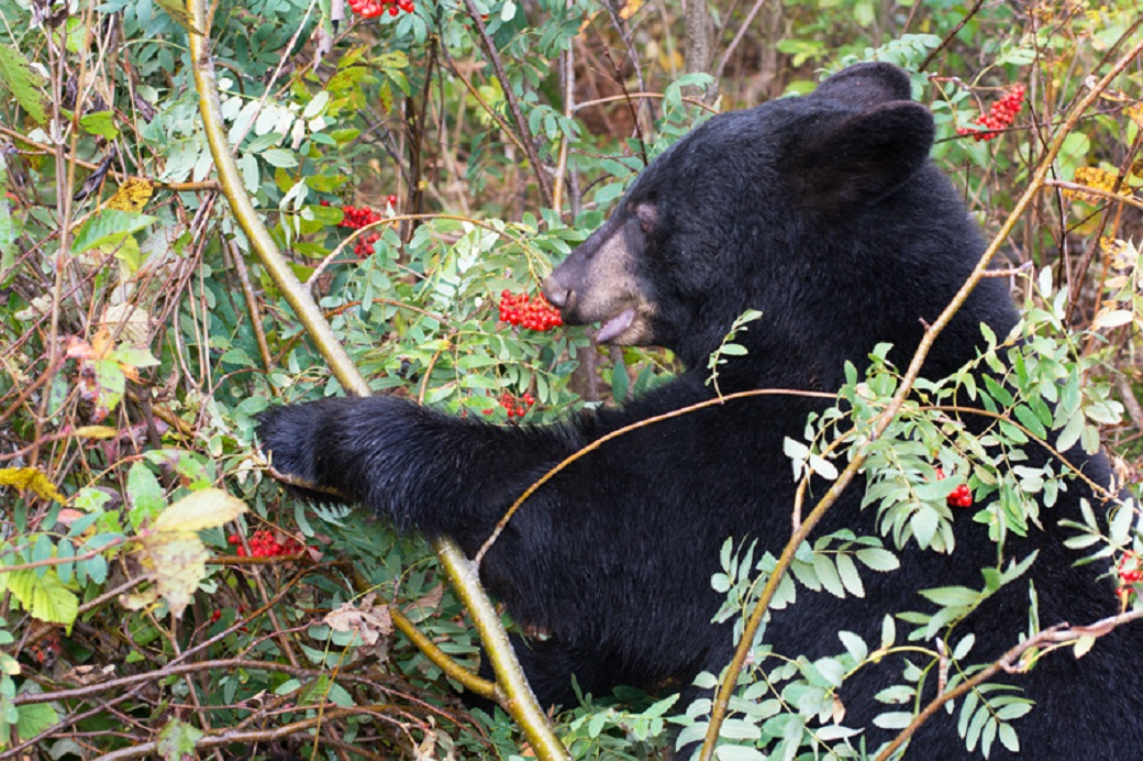 Interesting tidbit: the black bear population of the state of Virginia is currently estimated at 17,000.