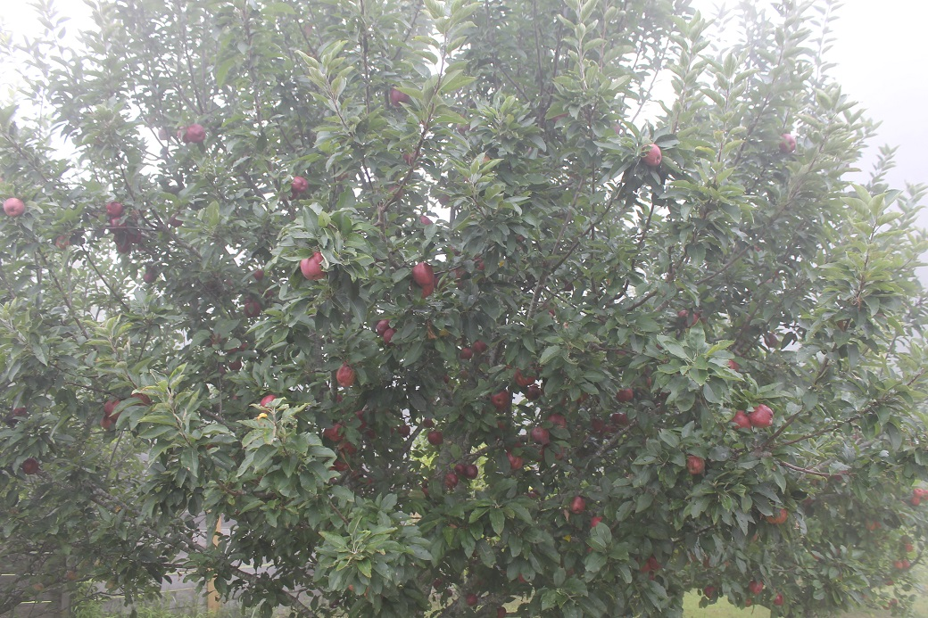 The apple trees don't seem to mind living in the clouds. The apples have sweetened weeks early this year.