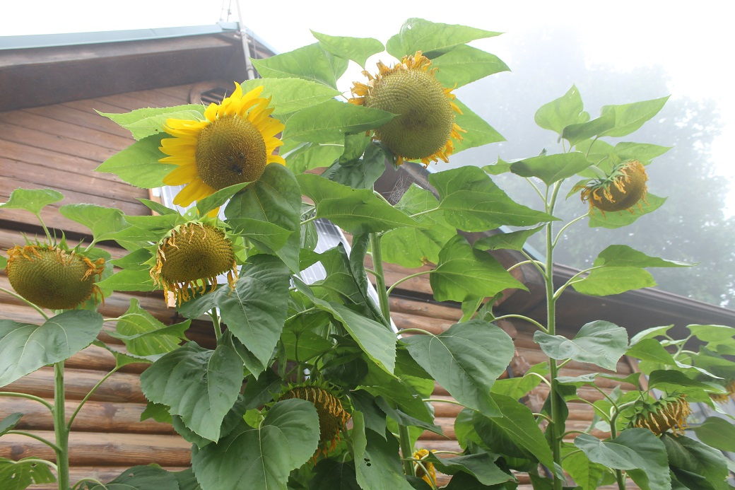 We shall see if the sunflowers will dry to make good seeds in this thick daily fog.