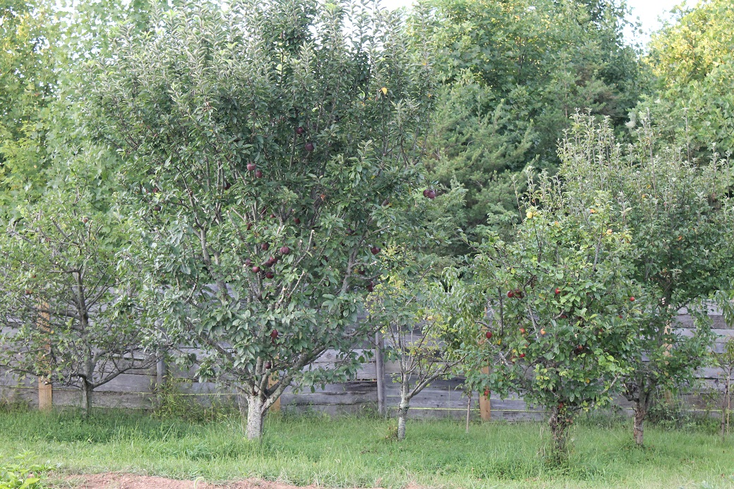 Upon close inspection, the half pruned apple trees look symmetrical on the bottom half and shaggy at the top. They remind me of neglected Chia Pets.