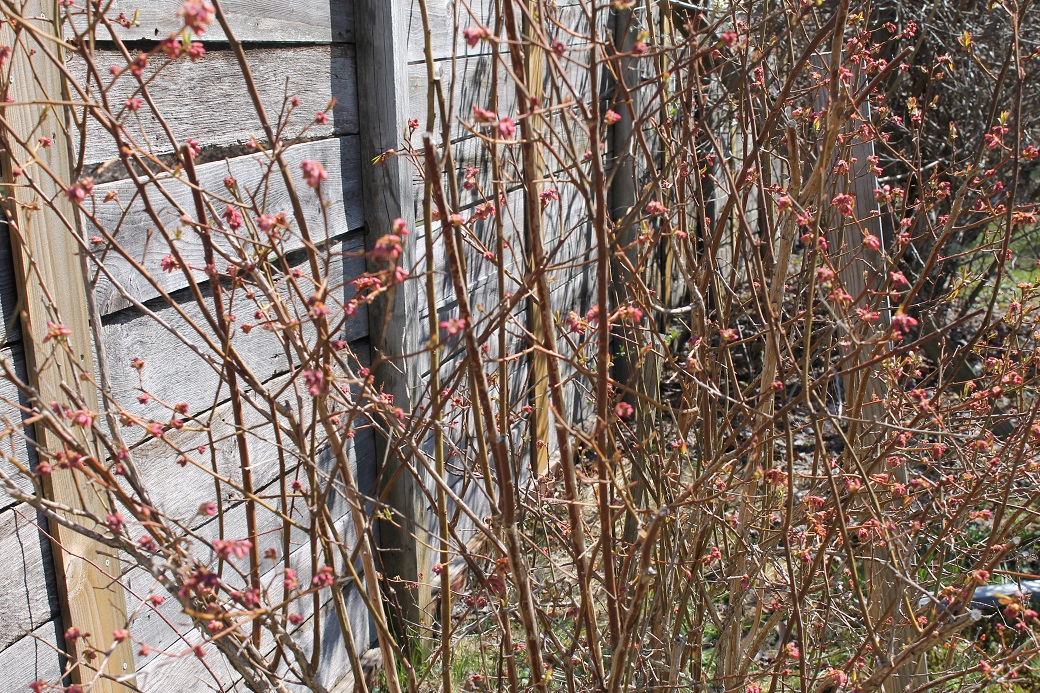 """The blueberry patch is happily uncovered and ready to get on with the business of """"bloob-ing"""" for the season."""