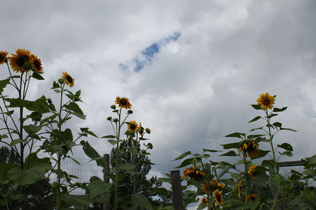 a sunflower field 7